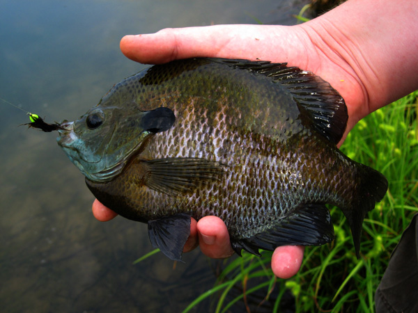 Fishing small ponds big gills for Do all fish have gills