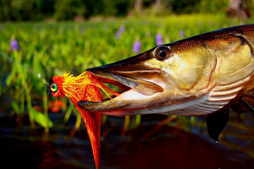 Fishing muskies on the fly where to for Musky fly fishing