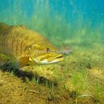 Smallmouth-Bass-S-1573